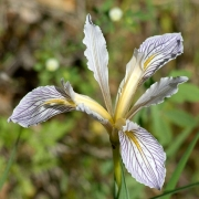 Wild Iris, Penn Valley