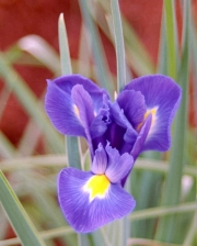 Iris in our Backyard, Penn Valley, CA (2004)