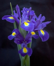 Iris Boquet, Penn Valley