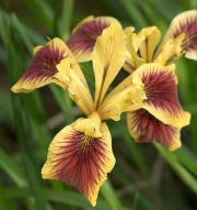 Pacific Coast Iris, Penn Valley
