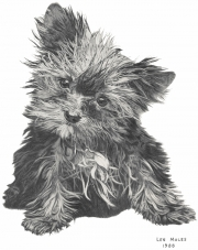 Yorkie Pup Image